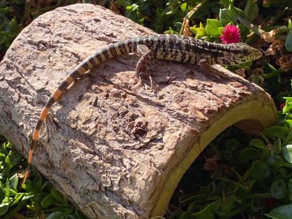 Picture of Red Tegu
